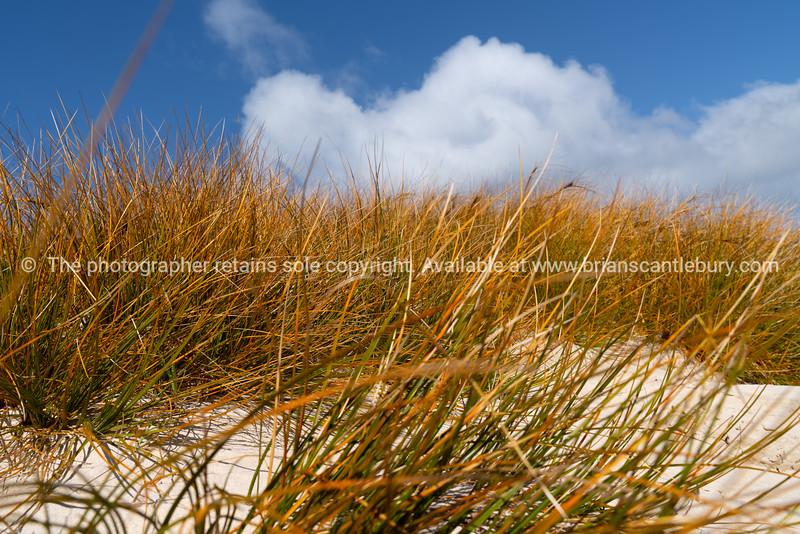 Golden marram grass on sand dune under blue sky with white cloud on Stewart Island,