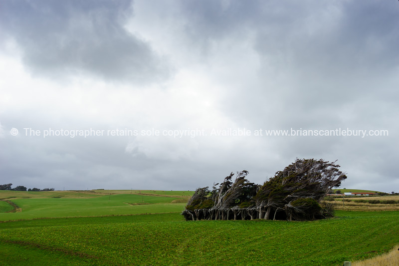 Group of macrocarpa trees bent over in wind