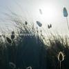Beach grass silhouette against rising sun