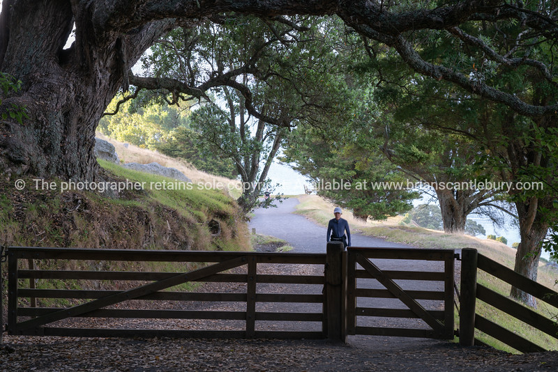 Large old pohutukawa tree arches over track and gate