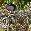 Pukeko in ti tree bush