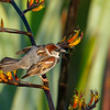 Sparrow on flax branch
