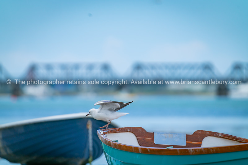 Seagull landing on stern of dinghy.