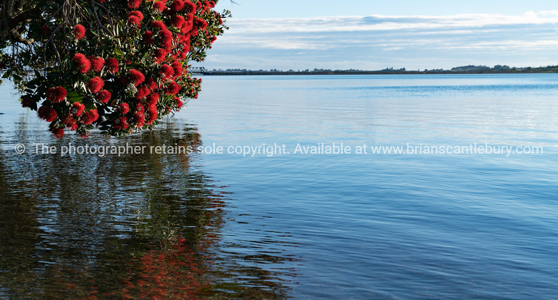 Brilliant red flower of New Zealand chrismas tree or pohutukawa growing characteristically over waters edge