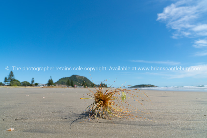Spinifex seedhead blowing along beach