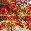 Bright red autumn leaves of maple tree