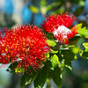 Brilliant red pohutukawa bloom on base of Mount Maunganui