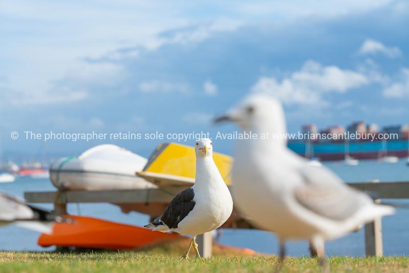 Seagull on beachside grassy edge to Pilot Bay, Tauranga, New Zealand