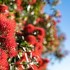 Detail of closeup pohutukawa flower