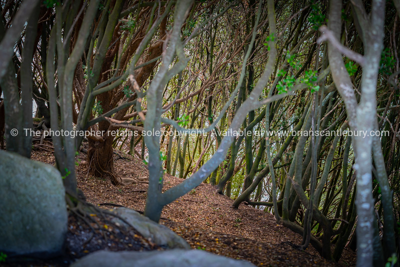 Straggly spindly trees growing of slope of Moturiki Island at Mount Maunganui