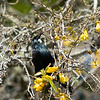 New Zealand native bird, the tui