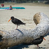 Two black oystercatchers on log on beach 1
