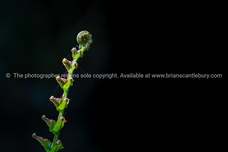 Delicate new ponga frond emerging
