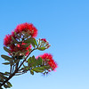 Brilliant red pohutukawa bloom on on diagonal branch