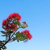 Brilliant red pohutukawa bloom on on diagonal branch