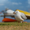 Seagull on beachside grassy edge to Pilot Bay, Tauranga, New Zealand