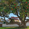 Beautiful large pohutukawa tree in bloom with it's characteristic red flowers in coastal suburban street.
