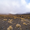 Tufted clumps of tussock scattered across the scoria landscape