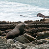 Fur seal on Tora rocky coastline. New Zealand image.