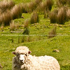 Sheep, Scenic New Zealand, the Wairarapa back country, Tora. New Zealand Image