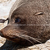 Seal close up. Tora rocky coastline. New Zealand image.