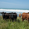 cattle, Scenic New Zealand, the Wairarapa coastal farmland. Tora. New Zealand Image