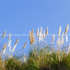 Pampas grass against clear blue sky, Raglan