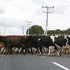 Cows cross the road.