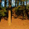 Redwood at sunrise