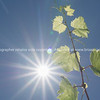 Grape vine growing against blue sky and sun flare high in sky