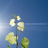 Grape vine under sunny sky series growing against blue sky and sun flare high in sky