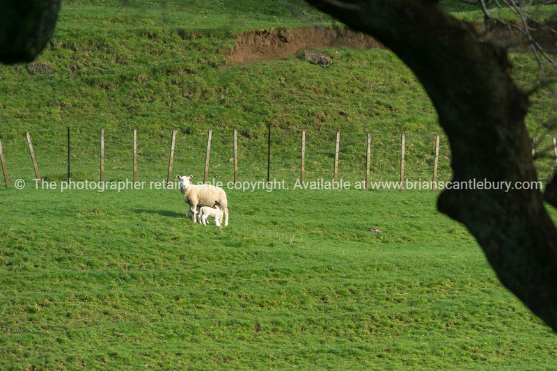 Sheep in field framed by silhouette tree branch
