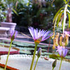 Water Lilies, Auckland Botanical Gardens.