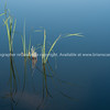 Reeds artistic in calm water.