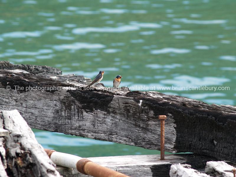 Welcome Swallows on Tokomaru Bay, East Coast. New Zealand images.