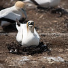 Nesting at Gannet colony. New Zealand Image.