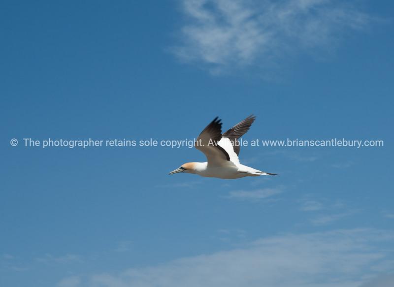 Gannet colony. New Zealand Image.