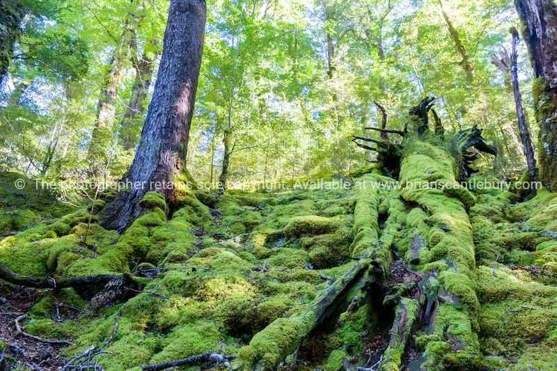Moss covered fallen tree trunks on forest floor.