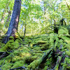 Moss covered fallen tree trunks on forest floor.