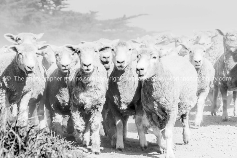 Through dust and haze kicked up a farmer with sheep dogs moves a flock of sheep