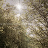 Lens flare and sun through tree canopy