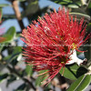 "Pohutukawa flower, also see ""Macro"" gallery."
