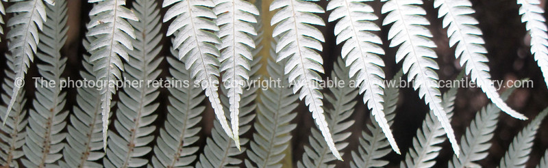 New Zealand Silver Fern fronds. New Zealand Image.