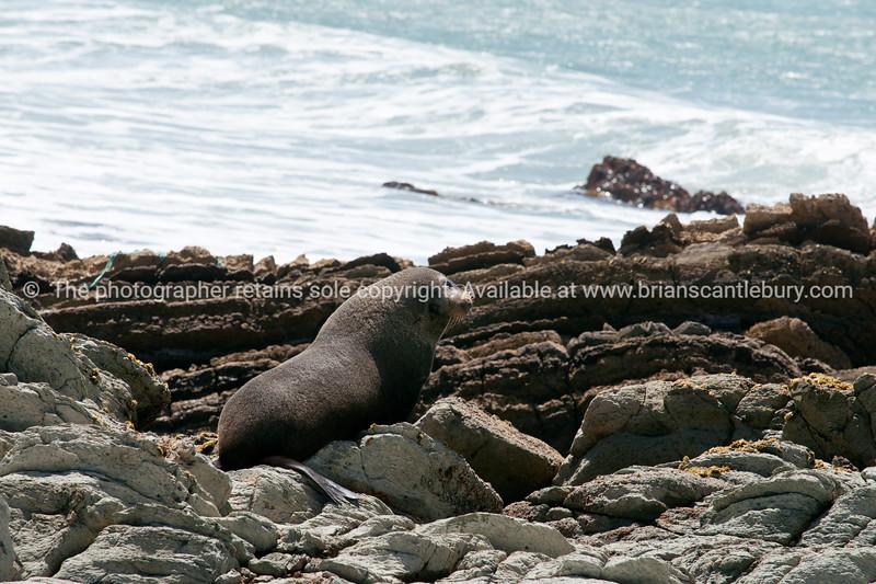 Fur seal on Tora rocky coastline. New Zealand image.