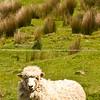 Sheep, Scenic New Zealand, the Wairarapa back country, Tora. New Zealand Image