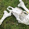 Animal remains. New Zealand Image.