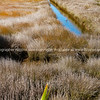 Wetland or saltmarsh with densely growing oio reed and drain with heron wading.