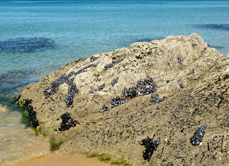 Clamshells on a rock at Mutton Cove.