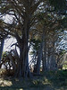 Big old trees at Whariwharangi Bay.
