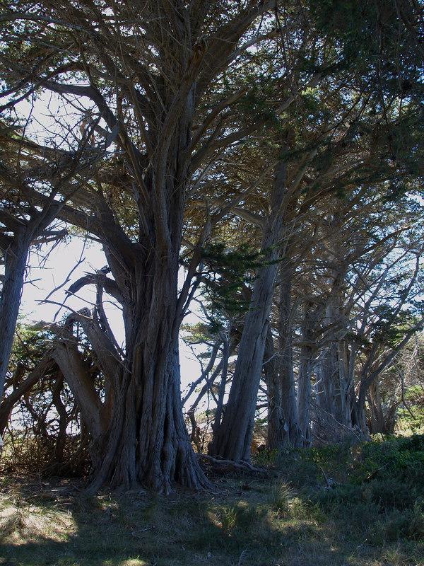 Big old trees at Whariwharangi Bay.